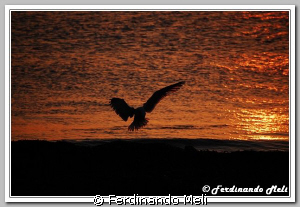 Seagull in the sunset. by Ferdinando Meli 